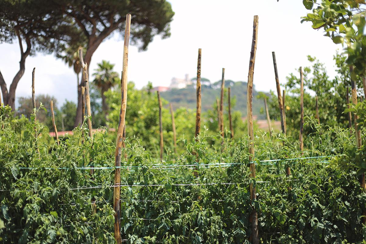 Coltivazione di pomodori in orto campano